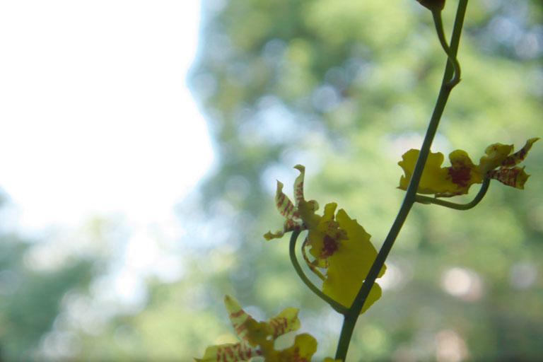 蝶(の様な)蘭 (2)_c0081286_732571.jpg