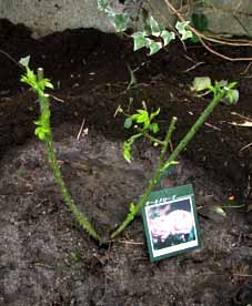 「ベランダ菜園」今月はローズマリーです_f0131628_2229870.jpg