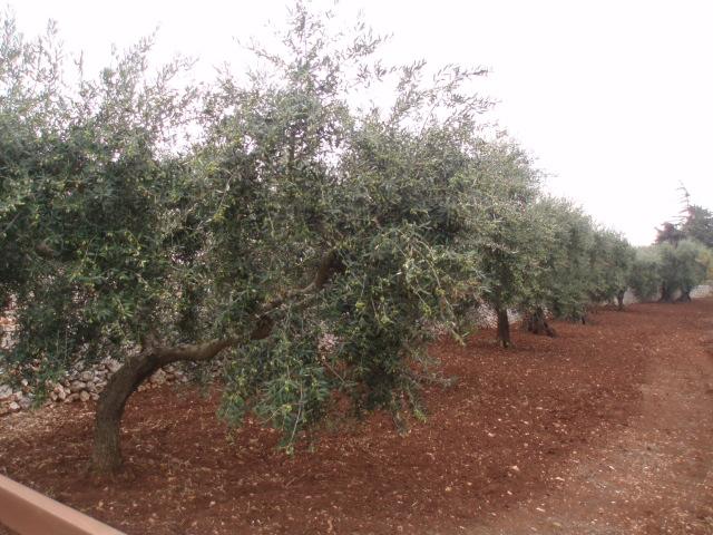 オリーブ摘み取りの季節_d0128354_2343936.jpg