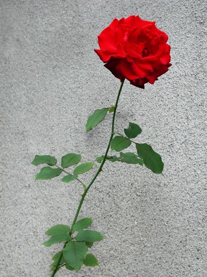 薔薇_f0193425_23204543.jpg