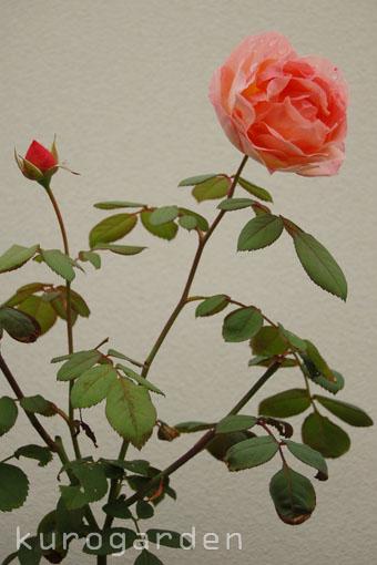 秋のレディ・エマ・ハミルトン_e0119151_16435725.jpg