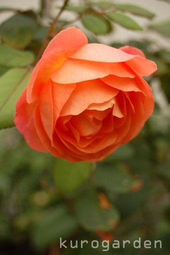 秋のレディ・エマ・ハミルトン_e0119151_16441887.jpg