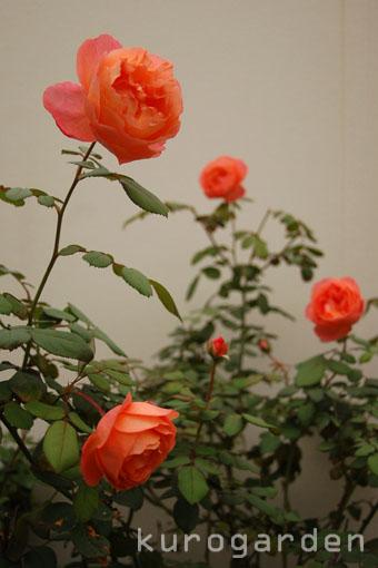 秋のレディ・エマ・ハミルトン_e0119151_1644879.jpg
