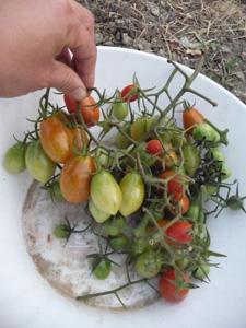 プチトマトの保存方法_f0106597_1162663.jpg