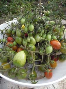 プチトマトの保存方法_f0106597_120042.jpg