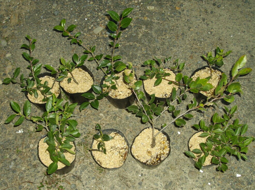 シャシャンボの実生苗を接ぎ木の台木にすることについて@ブルーベリー_f0018078_1733891.jpg