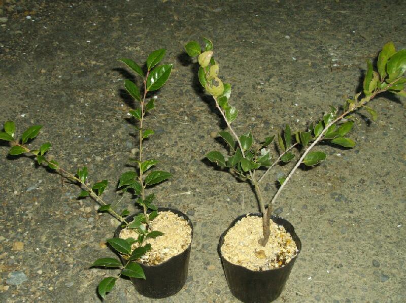 シャシャンボの実生苗を接ぎ木の台木にすることについて@ブルーベリー_f0018078_1743583.jpg