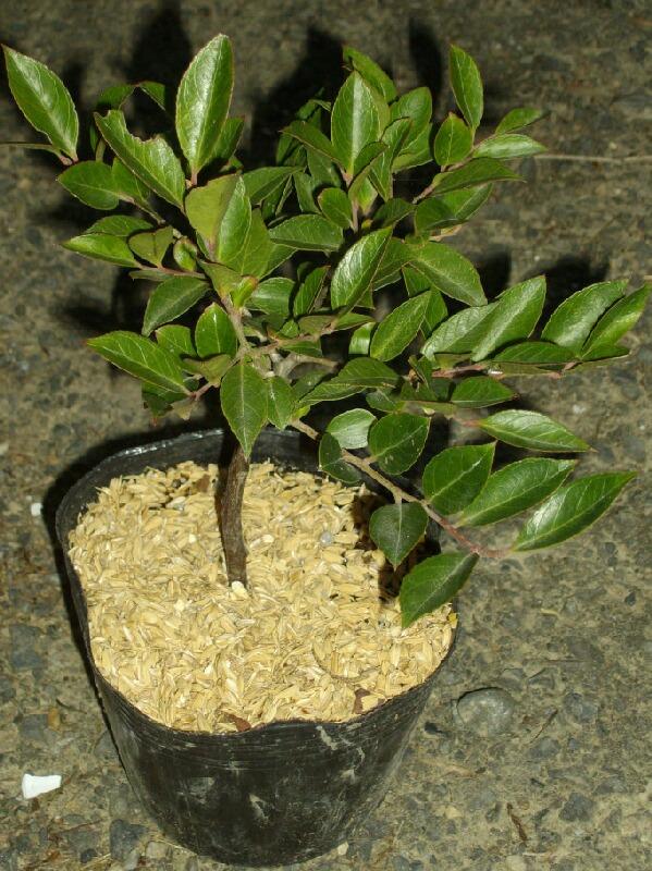 シャシャンボの実生苗を接ぎ木の台木にすることについて@ブルーベリー_f0018078_17444881.jpg