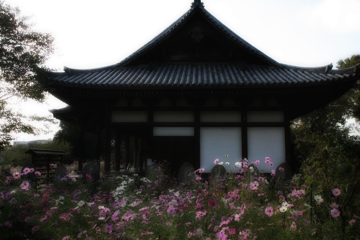 奈良 般若寺 秋桜 1_f0021869_20353847.jpg