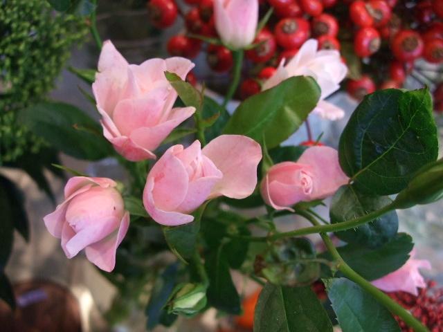 オークリーフ(紅葉と薔薇と草花と)_f0049672_12351271.jpg