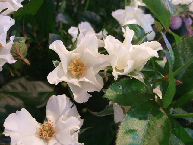 オークリーフ(紅葉と薔薇と草花と)_f0049672_12353247.jpg