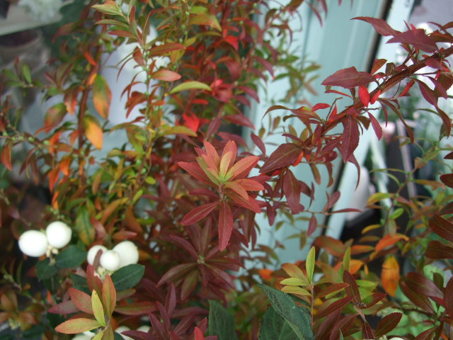 オークリーフ(紅葉と薔薇と草花と)_f0049672_12363641.jpg