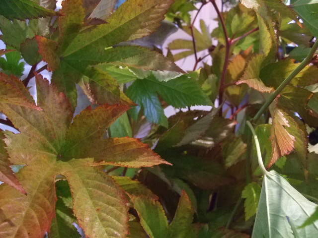 オークリーフ(紅葉と薔薇と草花と)_f0049672_12365829.jpg