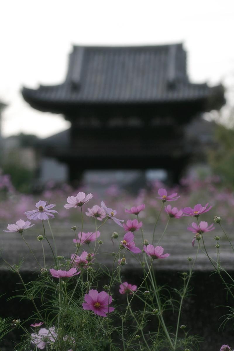 奈良 般若寺 秋桜 4_f0021869_2335480.jpg