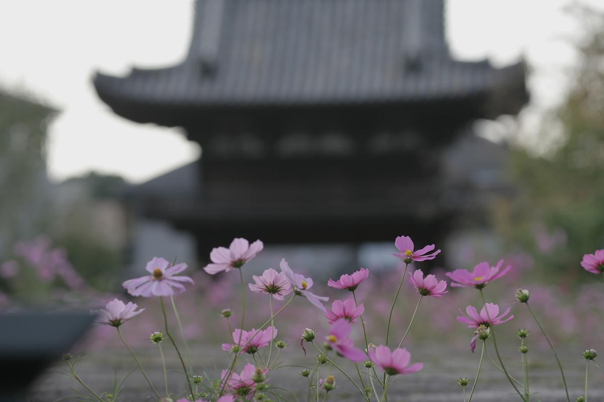 奈良 般若寺 秋桜 4_f0021869_2352041.jpg