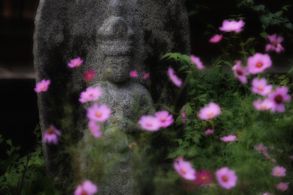 奈良 般若寺 秋桜 4_f0021869_2364569.jpg