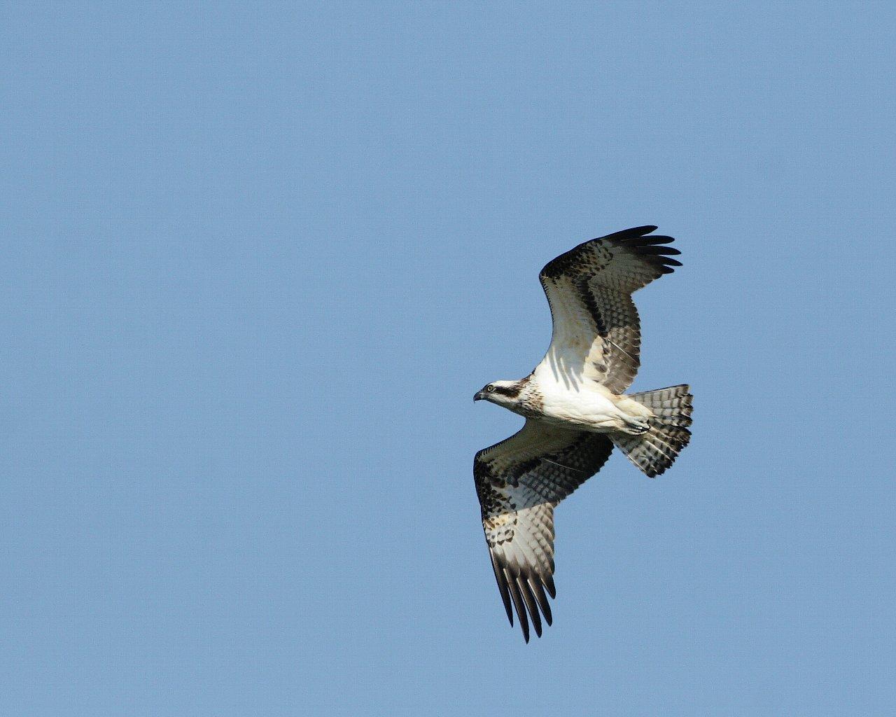 青空を飛ぶ精悍な猛禽ミサゴ(秋らしい野鳥の壁紙)_f0105570_21485539.jpg