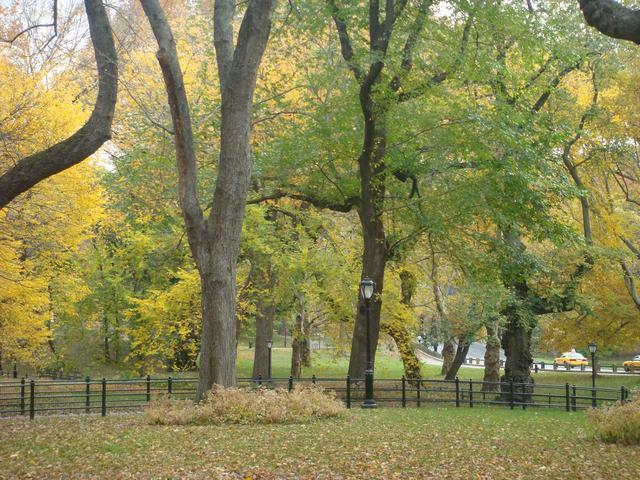 セントラルパークは黄色い森となり、_d0100880_5251223.jpg