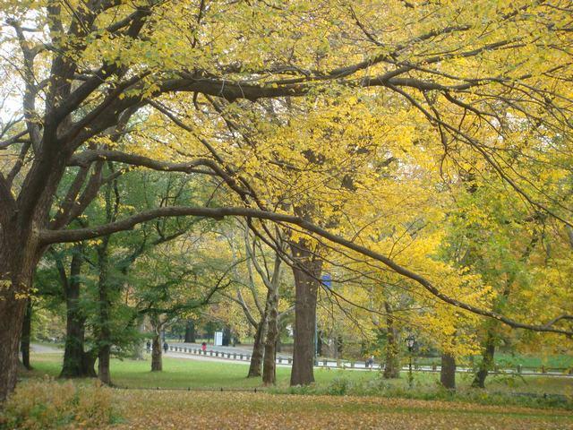 セントラルパークは黄色い森となり、_d0100880_5263567.jpg