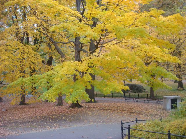 セントラルパークは黄色い森となり、_d0100880_5271524.jpg