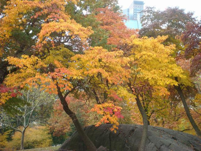 セントラルパークは黄色い森となり、_d0100880_5282168.jpg