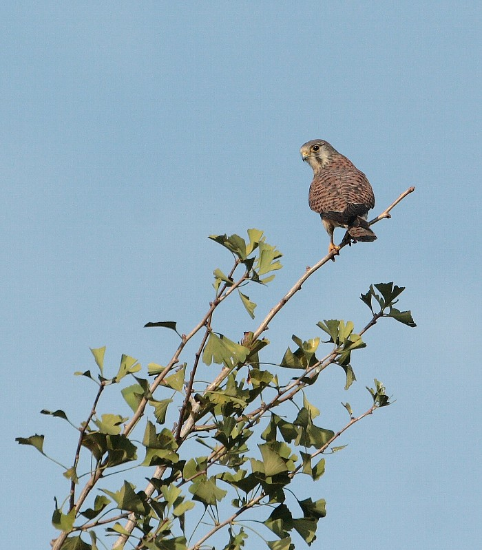 ミサゴのポイントにはチョウゲンボウも居ました。(精悍な猛禽のカッコイイ壁紙)_f0105570_22144227.jpg