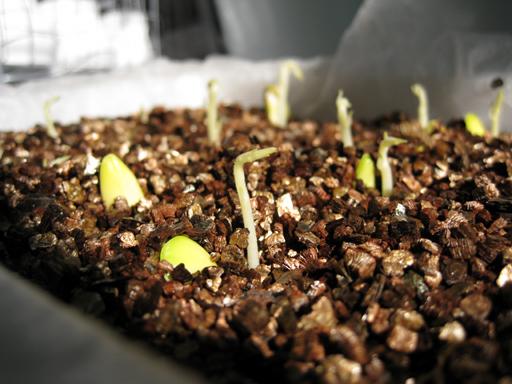 ジャックフルーツの発芽、Jackfruit seed germination