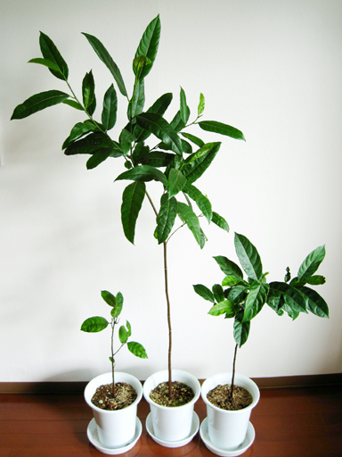 ジャックフルーツの鉢植、Jackfruit seedling
