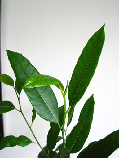 ジャックフルーツの葉っぱ、Jackfruit seedling leaves