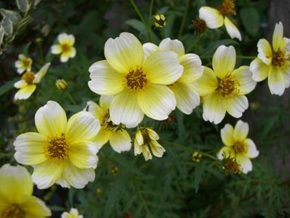 マイガーデンの花ー8_f0184939_1821435.jpg