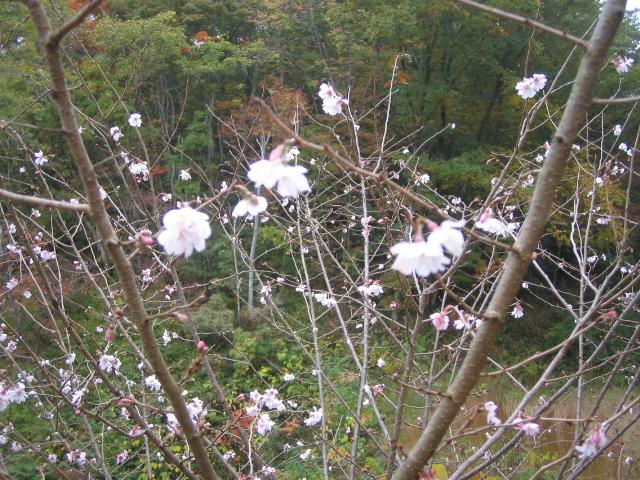 桜と、シャクナゲが咲いています。_f0085369_2358457.jpg