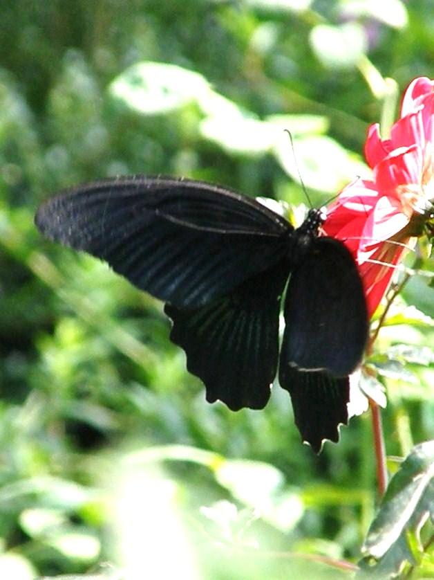 旅のお土産(13)……黒い姿を中心に…揚羽色々_e0064158_0332088.jpg