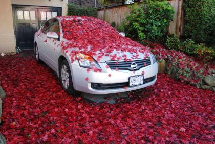 楓の落ち葉に埋もれた車。_d0129786_1347745.jpg