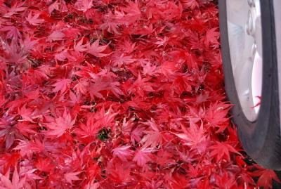 楓の落ち葉に埋もれた車。_d0129786_140502.jpg