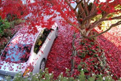 楓の落ち葉に埋もれた車。_d0129786_1424593.jpg