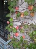 同潤館のツタが紅葉_e0091712_2253291.jpg
