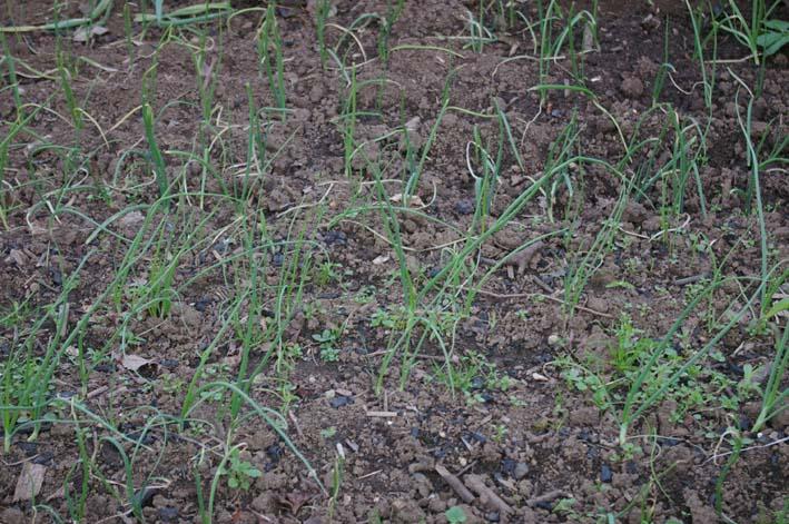 コカブを初収穫!とてもいい形で満足だ(2008・11・13)_c0014967_2057248.jpg