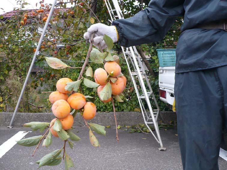 柿のプレゼント_b0126182_1584659.jpg