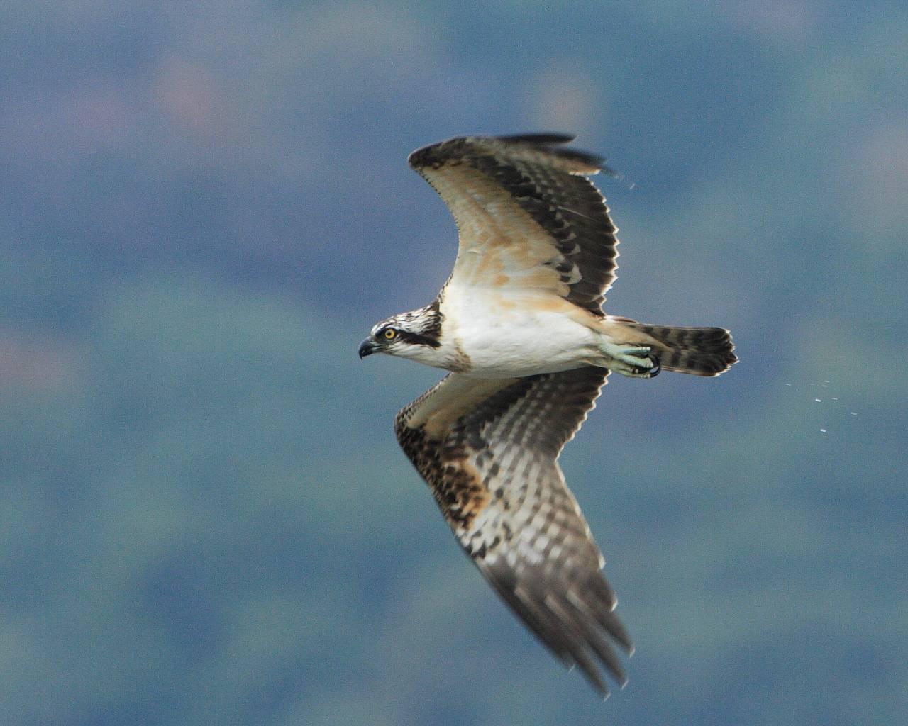 ミサゴの飛翔をアップで(精悍な猛禽の画面一杯の飛翔シーンの壁紙)_f0105570_21315219.jpg