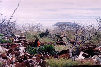 ガラパゴス。ノースセイモア島は平地です。青足カツオ鳥とグンカン鳥のコロニー島でした。(第134編)_e0003272_22555370.jpg