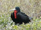 ガラパゴス。ノースセイモア島は平地です。青足カツオ鳥とグンカン鳥のコロニー島でした。(第134編)_e0003272_22573764.jpg