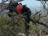 ガラパゴス。ノースセイモア島は平地です。青足カツオ鳥とグンカン鳥のコロニー島でした。(第134編)_e0003272_22591738.jpg