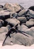 ガラパゴス。ノースセイモア島は平地です。青足カツオ鳥とグンカン鳥のコロニー島でした。(第134編)_e0003272_23123728.jpg