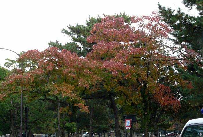 興福寺のナンキンハゼ_b0008289_19451931.jpg