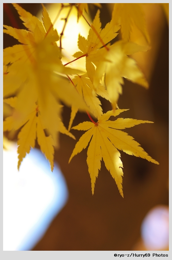 yellow leaf_e0063851_1842621.jpg