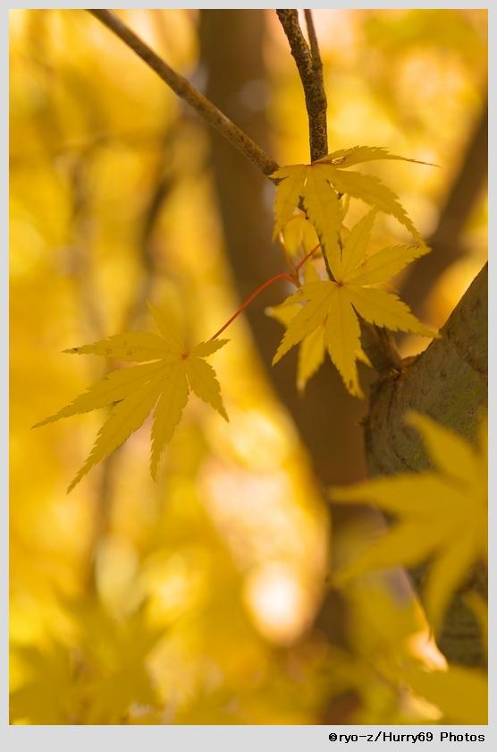 yellow leaf_e0063851_1845731.jpg