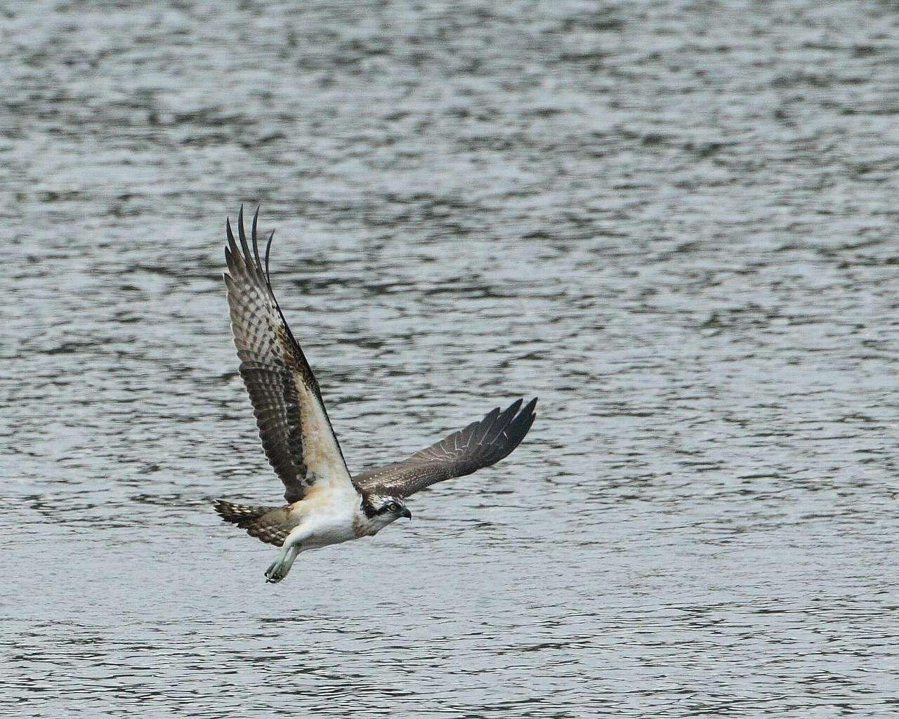 さまざまなミサゴの飛翔シーン(精悍で迫力満点の猛禽の飛び物壁紙)_f0105570_22434155.jpg