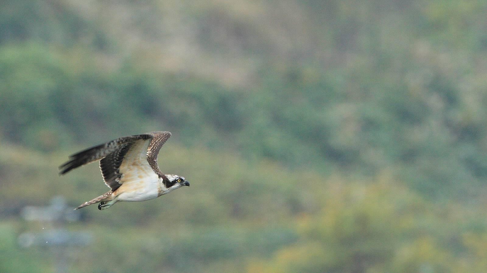 さまざまなミサゴの飛翔シーン(精悍で迫力満点の猛禽の飛び物壁紙)_f0105570_2244843.jpg
