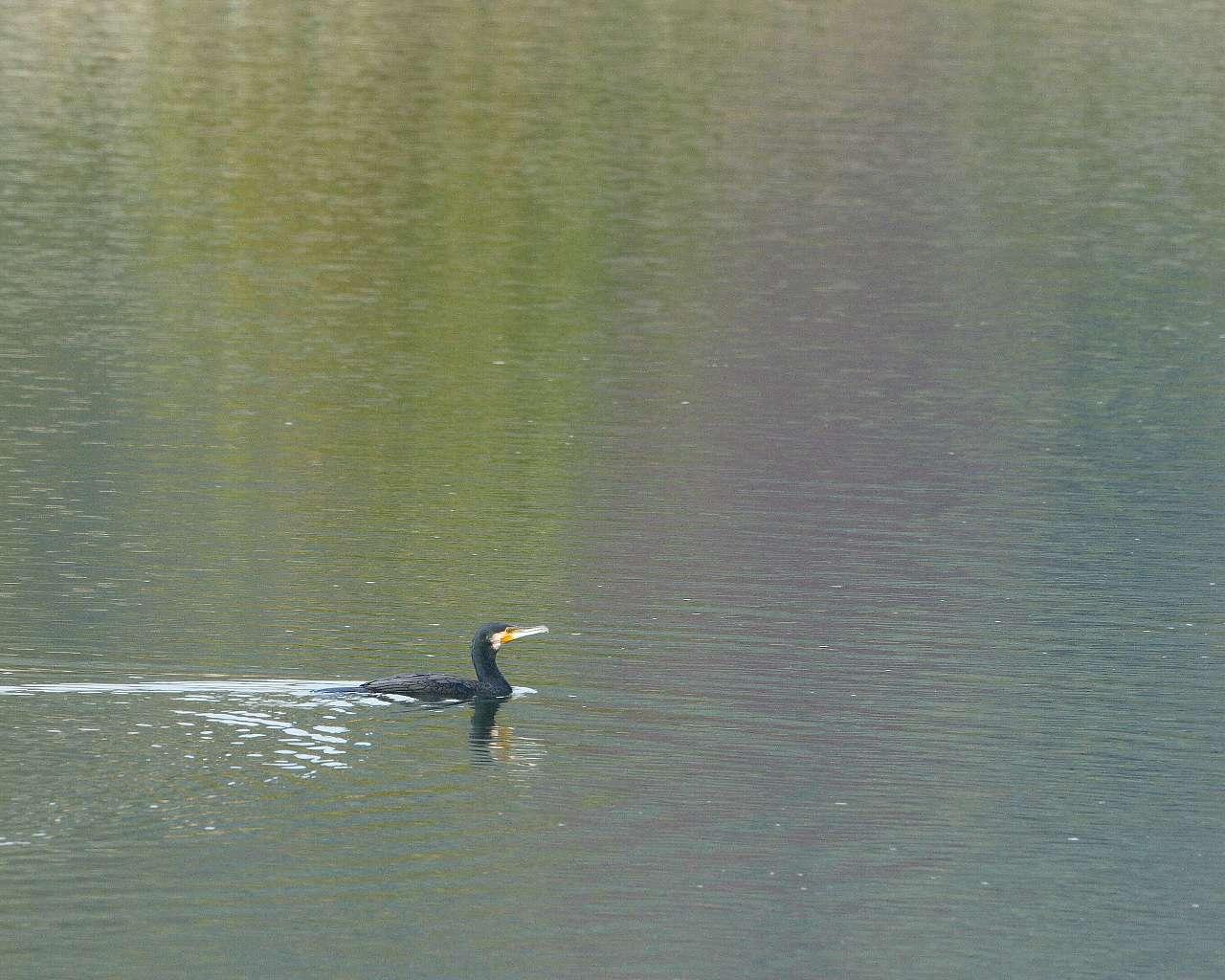 虹色カワウ(水面に映った紅葉と野鳥の美しい壁紙)_f0105570_2114541.jpg