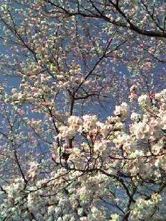 桜の夢の中/ Synopia concert_d0090888_2372840.jpg